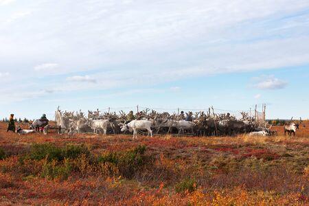 Yamal, Russia - September 21, 2018: Nomad herders lead reindeers to yearly vaccination camp. Nomadic people migrates with his reindeer herd whole year seeking for rich pasture. Zdjęcie Seryjne