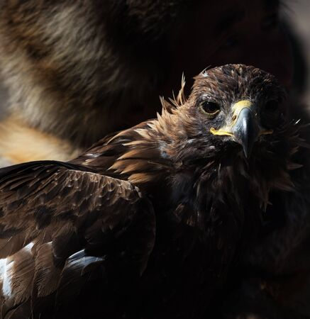 Close-up of the golden eagles head. Central Asia. Zdjęcie Seryjne