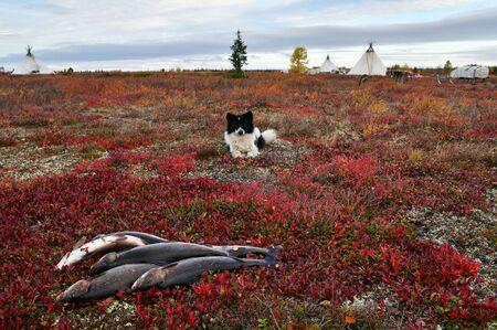 Nenets Laika, Polar Circle of Russia, Yamal Peninsula