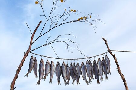 Fresh catch of fish is drying outdoor or Clipfish