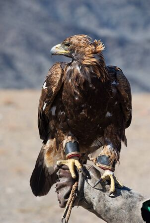 Golden Eagle is the bird educated for a falconry. It is a popular hunting style for a Mongolian Altai region.