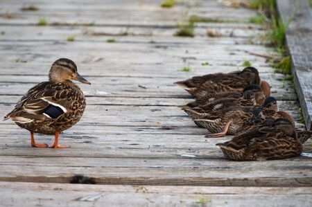 Wild river duck with ducklings take a slumber on a wooden pathway. Zdjęcie Seryjne