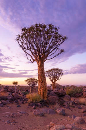 Dramatic sunrise over Quiver Tree Forest, Namibia Standard-Bild