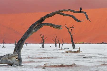 Black raven sit on the acacia dead tree in the Deadvlei pan, Namibia Standard-Bild