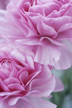 closeup of english roses, shallow dof for a dreamy effect photo