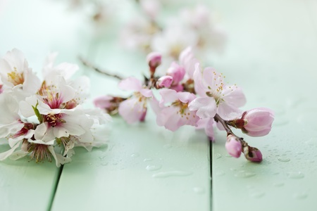 almond bud: close up of almond blossom on a table, shallow dof