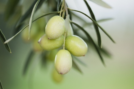 green olives hanging from tree photo
