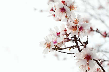 closeup of almond blossom photo