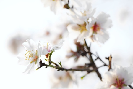 closeup of almond blossom