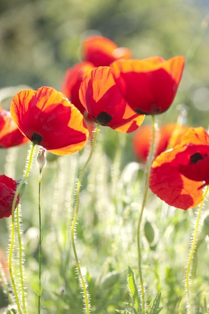 backlit poppies, soft focus Stock Photo - 10551721