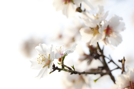 closeup of almond blossom outdoors photo