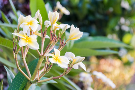 tender passion: Frangipani tropical flowers from deciduous tree, plumeria
