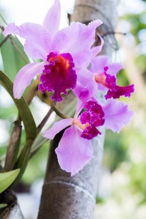 cattleya: Pink beautiful Cattleya orchid
