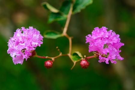 l natural: Crape myrtle, Crape flower, Indian lilac (Yi-Kheng),  Lagerstroemia indica L.