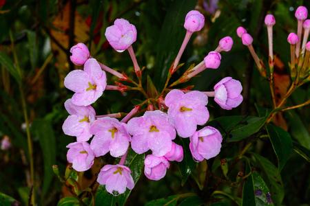 Luculia gratissima, RUBIACEAE at Doi Luang chiang Dao, Chiang Dao, Chiang Mai, Thailand. Highly fragrant flowers.
