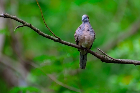 Geopelia striata bird is perched on a tree branch in the forest.