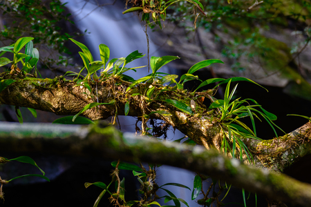 Epiphytic orchids Depending on the branch near waterfall.