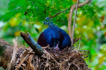 Goura victoria or Victoria crowned pigeon feeding in a hive. The trees in the forest.