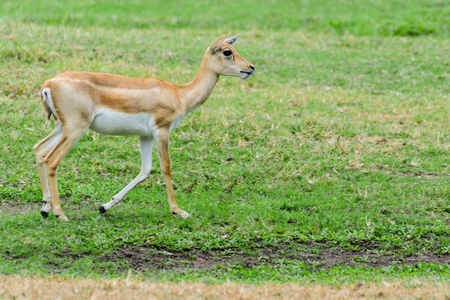 Thomsons gazelle childhood in the pastures, natural habitat.