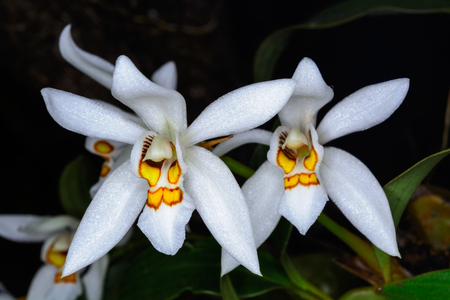 epiphytic: Coelogyne nitida (Wall. Mss.) Lindl. epiphytic orchid orchid In the habitat.