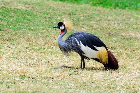 Grey crowned crane stand living on the prairie.