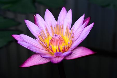 Close up beautiful purple lotus Nymphaea spp.(Hybrid).