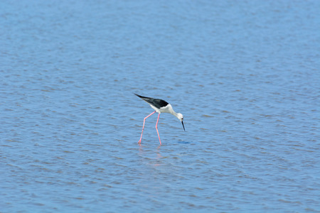 Black-winged Stilt, Himantopus himantopus are feeding on the beach. In low tide.