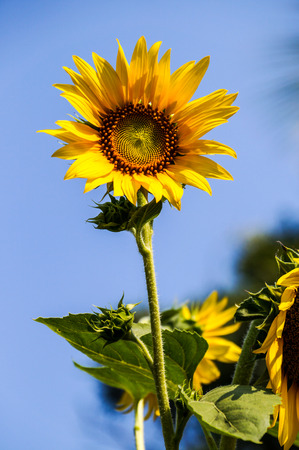 Big yellow sunflower on blue sky photo