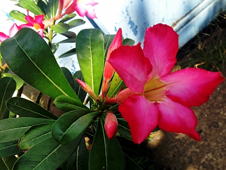 adenium: Adenium obesum tree is herbs. Medicinal Plants Garden, Adeniums are appreciated for their colorful flowers. Treating vomit stem bark is used to treat vomiting. Desert rose