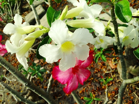 obesum balf adenium: Adenium obesum tree is herbs. Medicinal Plants Garden, Adeniums are appreciated for their colorful flowers. Treating vomit stem bark is used to treat vomiting. Desert rose