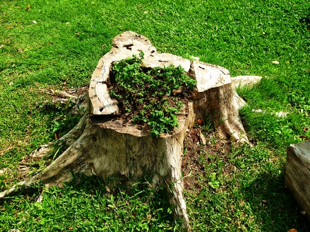 sawn: Stump on green grass overgrown with litile trees in graden.