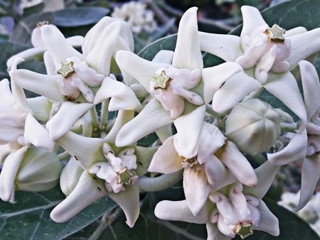 gigantea: Beautiful white flower, Crown Flower, Giant Indian Milkweed, Gigantic Swallowwort , Calotropis Gigantea
