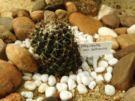 Coryphantha maiz-tablasensis is a slowly depressed-globular cactus, often clumping and group-forming,