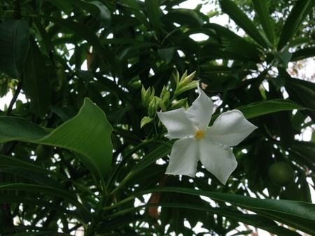Bauhinia lakhonensis Gagnep tree has green fruit and white flowers.