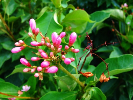 Pink Jatropha integerrima Jacq tree is herbs. Medicinal Plants Garden,  Latex and seeds are toxic, itching and burning sensation. Stock Photo