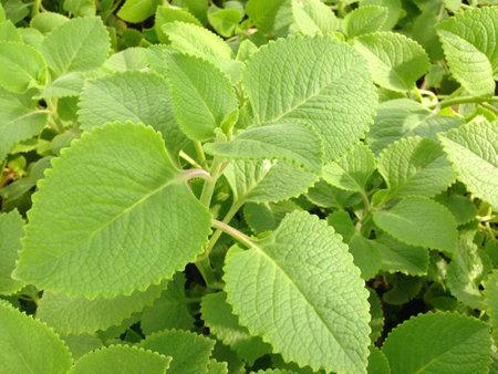Plectranthus amboinicus (Lour.) 식물을 자라십시오. 귀에서 추출한 주스 추출물은 주스를 중화시킵니다. 감기 치료.