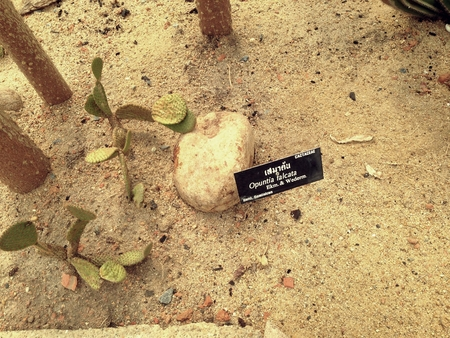 falcata: Opuntia Falcata or Saguaro Opuntia in the desert garden. Consolea falcata is a treelike cactus with very dark, glossy green upright. CACTACEAE Stock Photo