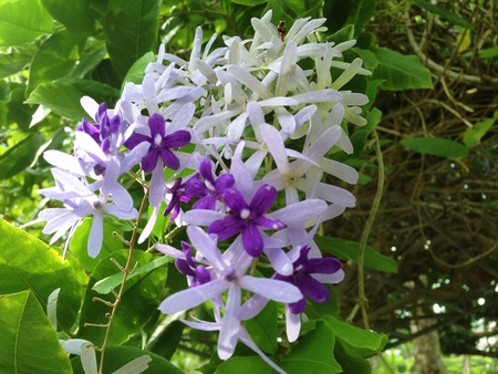petrea: Group of purple and white flower is Petrea volubilis L