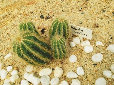 Cactus plants notocactus magnificus in the desert garden.