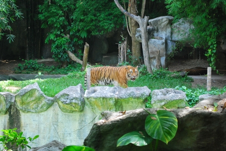 The big tiger is playing in the beautiful nature.