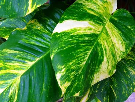 sawn: Scindapsus aureus, Epipremnum aureum, Devils iIvy, Hunters-robe or Golden pothos is creeper tree. Popular planted in ornamental trees in buildings and houses, which are beautiful trees, leaves and sawn.