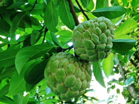 Sugar apple, Custard apple, Sweetsop or Annona squamosa Linn. The fruit is white to sweet with black seeds.