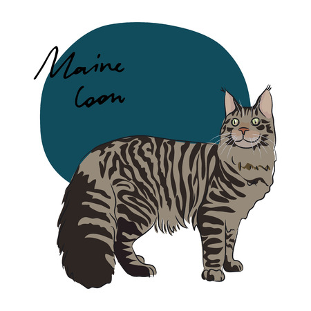 fleecy: Maine Coon cat, vector illustration Illustration