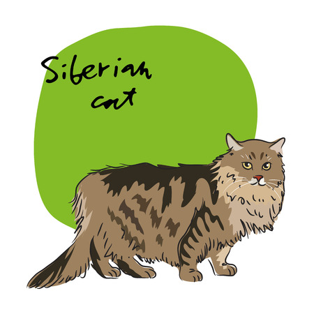 fleecy: Siberian cat, vector illustration