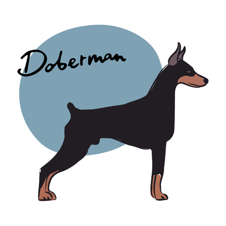 doberman: Dobermann, Vektor-Illustration
