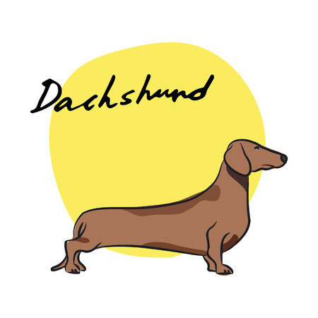 Dachshund, vector illustration