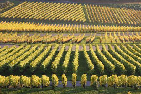 Vineyard in autumn, in a suburb of Stuttgart Stock Photo