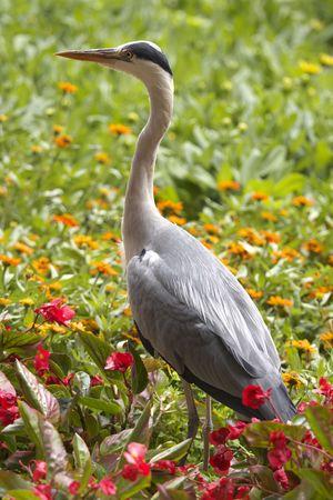 gray herons: Heron and flowers