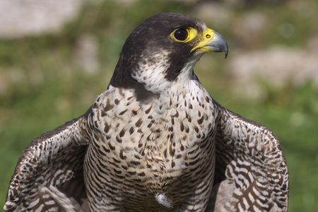 multidisciplinary: Falcon on the lawn in Germany
