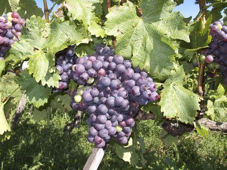 stuttgart: Grapes in the vineyard of Stuttgart